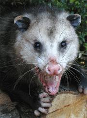 Austins Wildlife Removal Service Opossum
