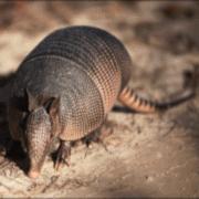 Austins Wildlife Removal Service Armadillo