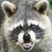 Austins Wildlife Removal Service Raccoon