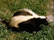 Austins Wildlife Removal Service Skunk