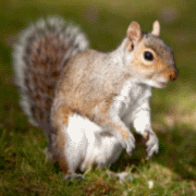 Austins Wildlife Removal Service Squirrel