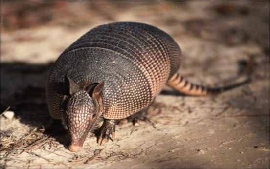 Austins Wildlife Removal Services - Armadillo