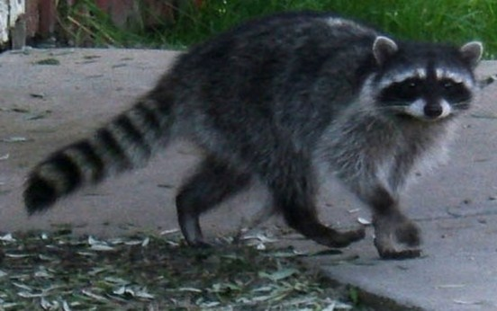 Austins WIldlife Removal Service - Raccoon Problems